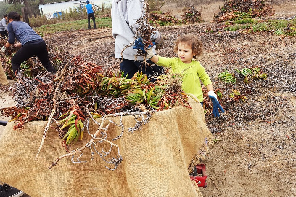 Even very small children can help pull weeds that threaten native plants. [image Kerem Hanci Photography]